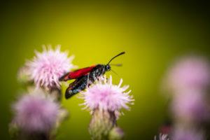 Blutströpfchen oder Sechsfleck-Widderchen Falter, auf Blüte, close-up, Zygaena filipendulae