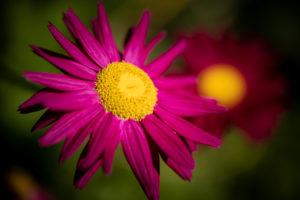 Pinkfarbene Sonnenhutblüte, Echinacea, Close-up