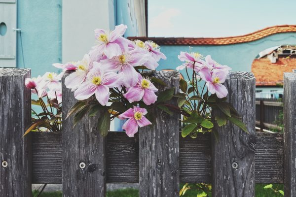 flowering clematis on garden fence