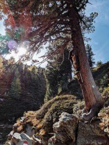 Unterwegs auf dem Tiroler Zirbenweg: älteste Zirbe Tirols