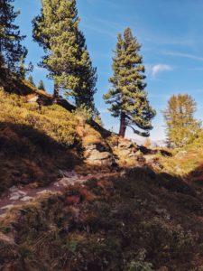 große Zirbe wächst am Wegesrand, Unterwegs auf dem Tiroler Zirbenweg