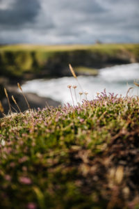 Grasses and heather grow on the cliffs of Mullaghmore Head, Ireland
