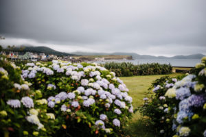 flowering hydrangea bushes in Waterville, coast view, Ireland