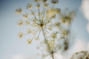 yellow flowering dill flowers (Anethum graveolens)