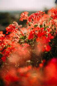 rote Geranienblüten
