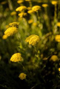 blooming golden sheaf (Achillea filipendulina) in summer