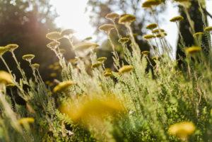 blühende Goldgarbe (Achillea filipendulina) im Sommer