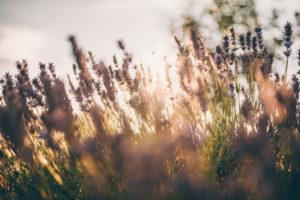 blooming lavender in broken sunlight