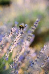 Hummel sammelt Nektar einer Lavendelblüte