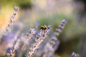 Bumblebee collects nectar from a lavender flower