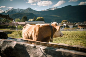 Cow drinks from a wooden fountain, Germany, Bavaria, Garmisch-Partenkirchen