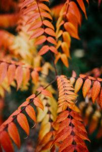 herbstlich gefärbte Blätter eines Essigbaums (Rhus typhina)