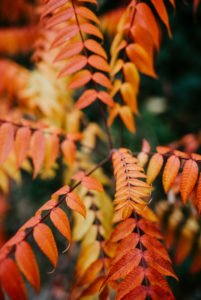 leaves of a vinegar tree (Rhus typhina) colored in autumn