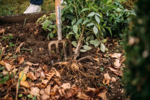 Dahlie wird ausgegraben, Vorbereitung zum Überwintern
