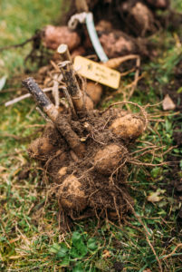 Dahlia tubers are prepared for wintering, pruning, name tags
