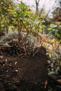 angehäufelter Rosenstock, Herbst, Gartenarbeit