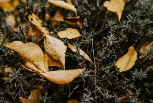 gelbes Herbstlaub liegt in einem Lavendelbusch
