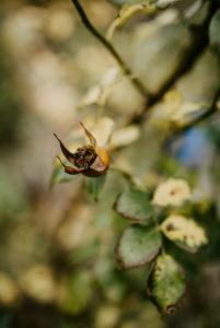 Hagebutte einer Rose im Herbst