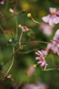 rosa Blüten der Herbst-Annemonen (Anemone hupehensis)
