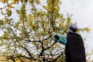 Gärtner schneidet einen Apfelbaum zurück, Baumschnitt eines Apfelbaums im Herbst