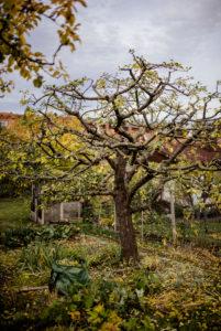 fertig beschnittener Apfelbaum, Baumschnitt eines Apfelbaums im Herbst