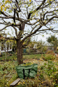 finished pruned apple tree, pruning of an apple tree in autumn