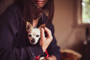 Midsection of woman with Chihuahua dog at home