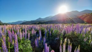 Colorful lupine meadow, New Zealand