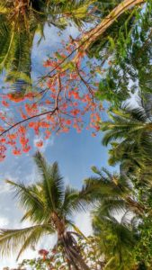 Blue sky surrounded by palm trees and red flowers, Fiji