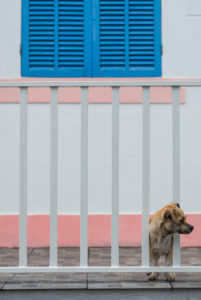 Portugal, Azores, Pico Island, Lajes do Pico, small dog
