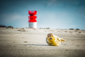 Germany, island, the North Sea, Helgoland, dune, beach, grey seal, lighthouse