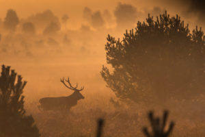 Deer in the morning haze