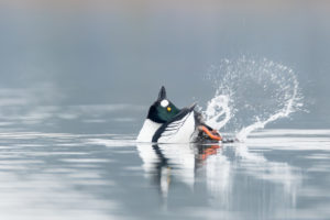 Goldeneye, courting