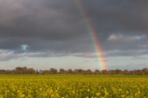 Rainbow over rape field