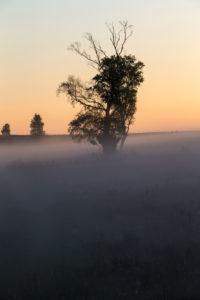 Birch in the sunrise