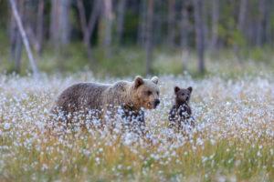 Brown bears, Ursus arctos, wildlife, Finland