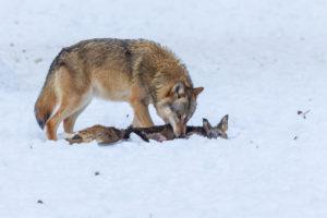 European wolf, Canis lupus,