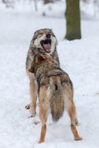 European wolves, Canis lupus,