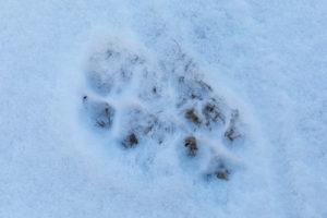 Animal track, grey wolf, Canis lupus, paw print