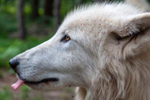 Polar wolf, white wolf, Canis lupus arctos,