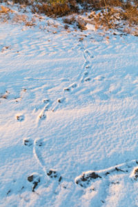 Animal track of an gray wolf, canis lupus, paw prints in snow