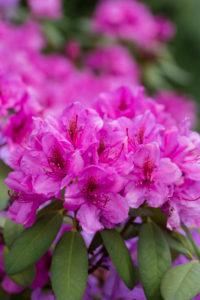 Rhododendron (Rhododendron spec.), Titisee, Schwarzwald, Baden-Württemberg, Deutschland, Europa