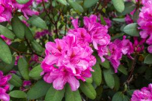 Rhododendron, Titisee, Schwarzwald, Baden-Württemberg, Deutschland, Europa