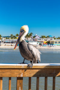Pelican, Fishing Pier Fort Myers Beach, Footbridge with gazebo, Beach, Fort Myers, Florida, USA, North America