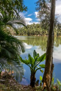 Water banana palms, (Typhonodorum lindleyanum), tropical vegetation on the Ivolina River, Ivoloina National Park, Ivoloina River, Taomasina, Tamatave, Madagascar, Africa, Indian Ocean