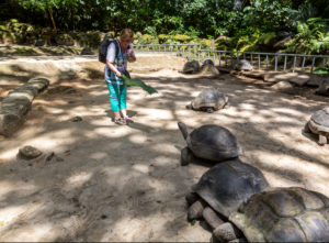 Woman feeding giant turtles with palm leaf, Botanical Garden, Victoria, Mahe Island, Seychelles, Indian Ocean, Africa