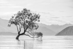 Black and white shot of the Wanaka tree, Wanaka Lake, Otago, New Zealand
