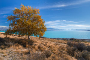 Autumn tree on the shores of Lake Pukaki with Mt Cook in the background, Canterbury, New Zealand