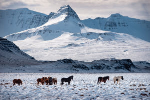 Herd of Icelandic horses in front of snowy mountain landscape, Vesturland, Iceland
