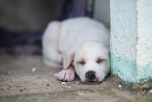 Asia, Thailand, Ko Samui, street dog, puppy, sleeping,
